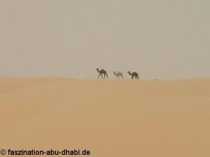 Mitten in dem Meer aus Sand tauchen in Abu Dhabi manchmal unversehens Kamele auf.